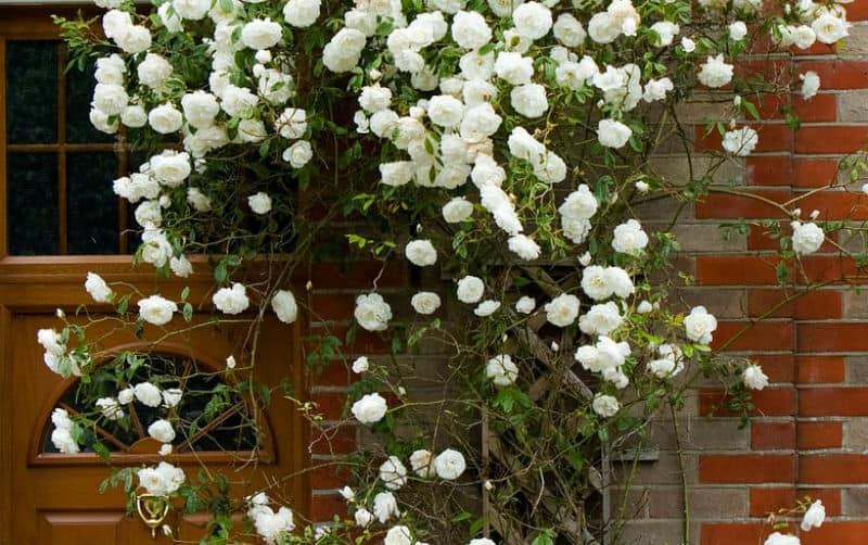 How to prune rambling roses