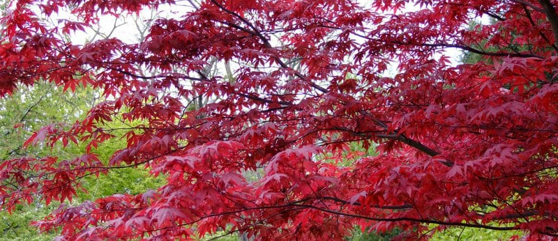 Pruning Acers - How and when to prune japanese maples