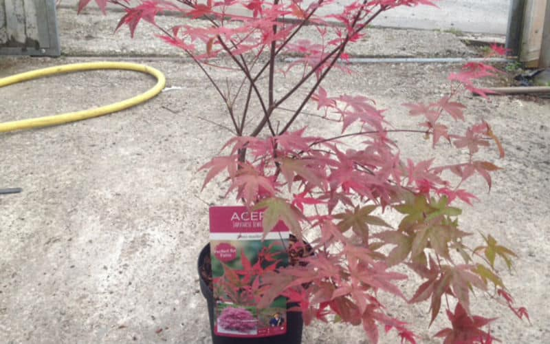 Pruning Potted Acers - when and how to prune potted acers