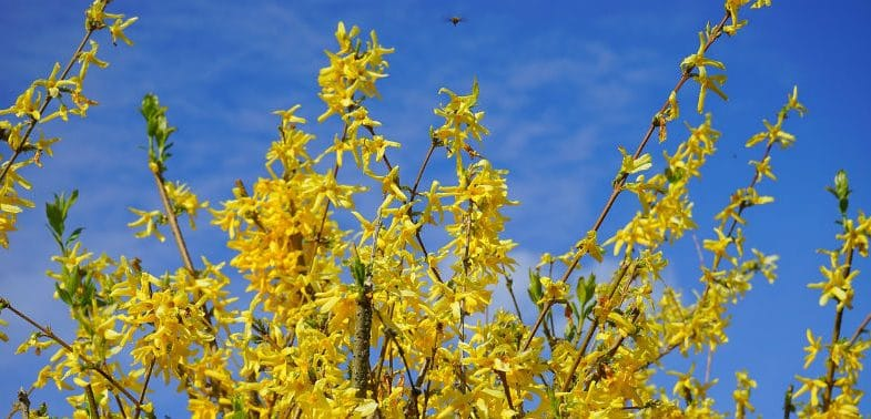 Pruning forsythia – the beginner's guide
