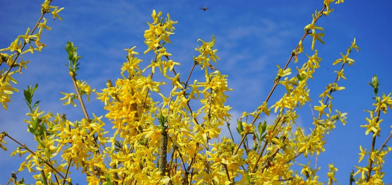 Pruning forsythia - how and when