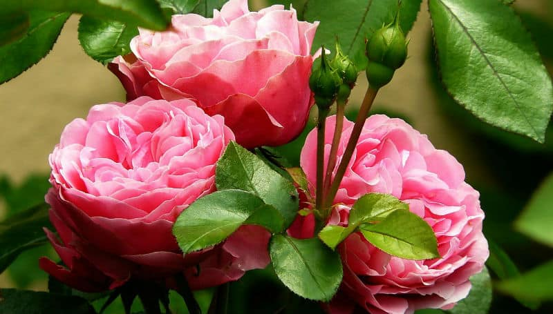 Pruning roses - how and when to prune rose bushes
