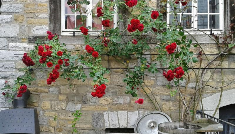difference between climbing and rambling Roses
