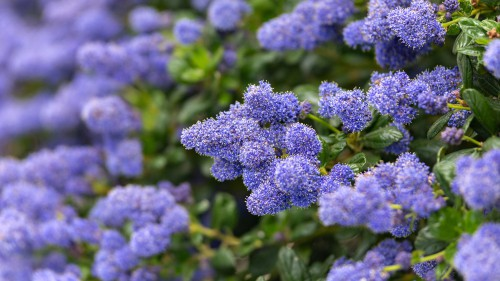 Ceanothus thrysifolius repens - Called the low blue blossom for a reason, this plant produces sky blue flowers in large puffs, tantamount to light blue balls of cotton. It is an evergreen ground cover shrub that is tolerant of full sun or partial shade. It will grow in sand or clay soil which makes it an excellent choice for any coastal or near coastal gardens. In fact, it excels in clay soil along slopes, especially if afforded protection against any winds.