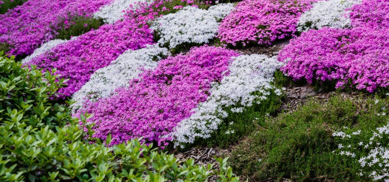 Ground cover plants to cover an area quickly help to add character and detail to an existing space. We look at 10 of the best fast growing ground cover plants. we look at both shrubs and perennials.