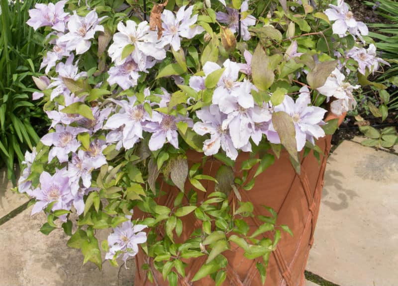 One of the best ways to enjoy clematis is by growing clematis in pots, you can grow them almost anywhere with many types doing well in partial shade. learn more