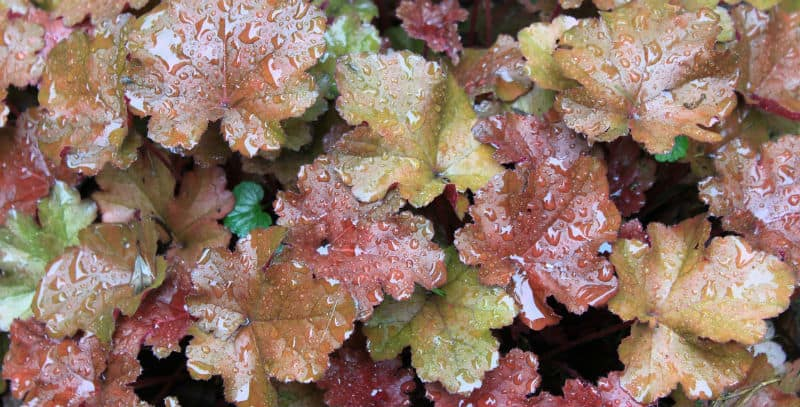 Growing Heuchera - Growing Heucheras can be very rewarding and with hundreds, of shades and colours that make amazing displays. learn how to plant and grow these perennials.
