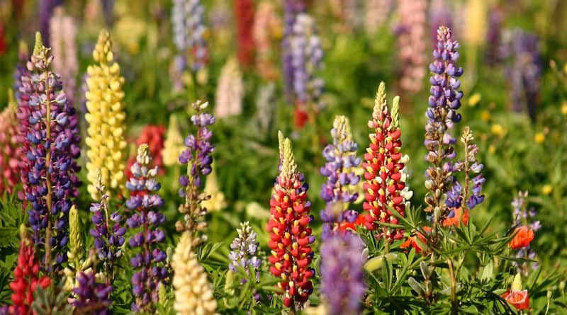 Growing Lupins Guide. Lupin flowers are some of the most breathtaking of colours. They have stiff, erect spikes from which flowers are produced and the foliage emerges horizontally. The flowers are very similar to flowers you would find with sweet peas insofar as they grow in densely packed groups the colours for which range from pink to white, deep blue, purple, even yellow.