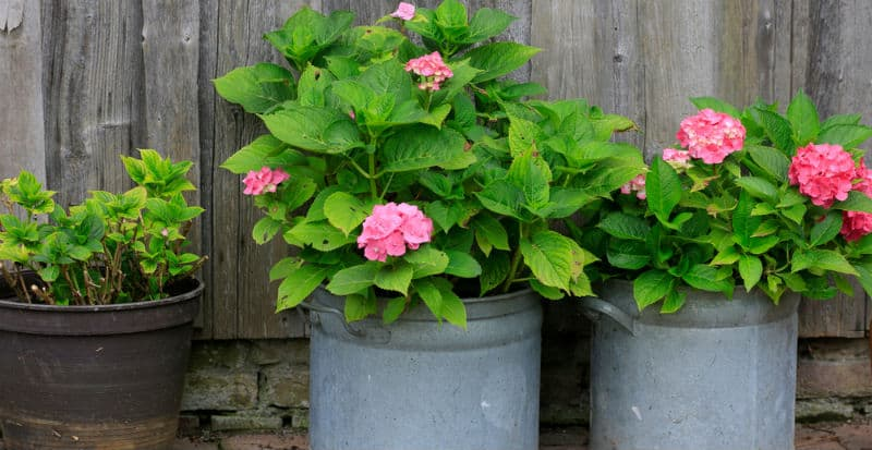 Growing hydrangeas in pots are relatively simple. In order to grow your hydrangeas in a pot you need to make sure that the soil contained in the pot or container is well-drained, the location in which you place the pot receives the proper amount of sunlight, and the soil remains properly moist as they need regular water and will suffer quickly if they don't get enough water.