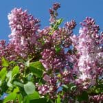 How to care for your lilac tree