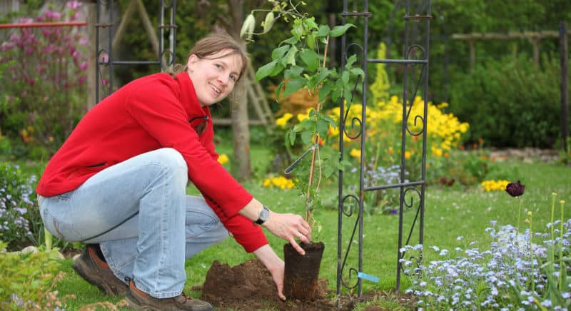 One question we often get asked is how to plant a clematis? The short answer is to plant in moist fertile soil with compost and bonemeal and plant slightly deeper. in this post we over clematis planting in more detail.