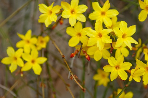 Winter Jasmine is a very unique flower given that it starts to bloom in Winter, hence its name. You will start to see flowers as early as January. The cold season blooms are rare but they do happen. More importantly, as part of the Jasmine family, you will enjoy a sweet scent from your porch with beautiful, starry blooms that add delightful colours to your landscape.