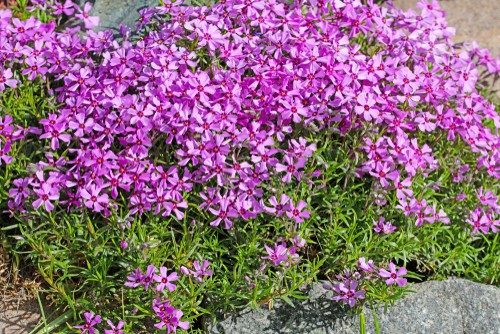 This perennial plant is native to Woodlands around the world and brings with it beautiful strength and cover for your yard. This perennial does not need to be replaced which is what makes it so effective as ground cover.