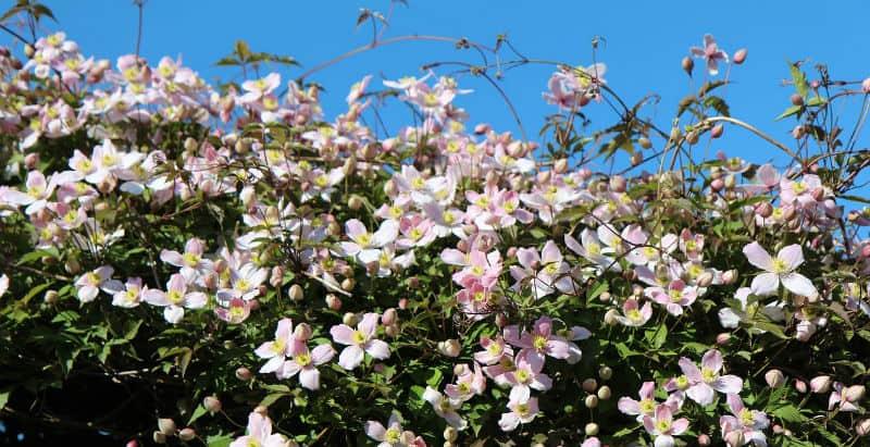 Pruning Clematis Montana - pruning group 1 clematis - prune in spring after flowering
