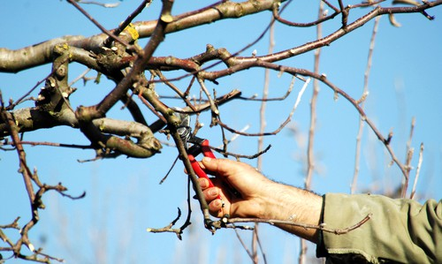 So, if there are other branches which are rubbing against the permanent branches they can be removed. This will do well to help with air circulation as well as better growth.