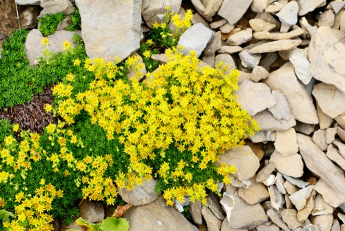 This plant is part of a flowering plant known as stonecrops. They are incredibly fast growing and will spread quickly effectively forming a sort of mat across your yard. They will grow prolifically outward but they don't get very tall so this is perfect for shorter ground cover especially if you don't want anything more than a few hundred centimetres