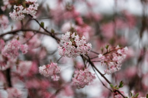 It produces pink and white flowers in late autumn/spring that emerge from red buds. At 2.5 meters tall once established its a fairly large shrub so allow plenty of room but it can be pruned to keep it within a certain size. Great for sheltered and exposed areas but prefers full sun or partial shade.