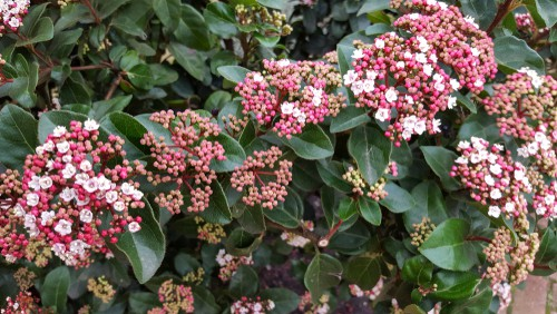 The incredibly ornamental bush has eye-catching flowers that come in the form of white clusters followed by colorful blueberries and bright green, leathery foliage. The buds that you receive will start off as a pale pink shade in the middle of winter and manifest throughout the beginning of Spring in the form of fragrant clusters that reach between 5 and 10 centimeters in size.