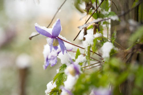 If you are going to cut your clematis back for winter just make sure you have done so in accordance with the rules listed above. This includes knowing when your clematis blooms, and being careful not to cut off the wood that will be required for certain bloomers. To that end, the clematis that flower on the current growth can be cut back as soon as that growth is over and it will be rejuvenated during the winter.