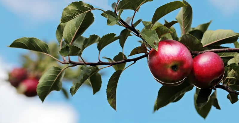 Apple trees should be pruned yearly, each winter when the tree has dropped all of its leaves for the winter, usually November to early March. You want to remove around 10-20% of the overall canopy, evenly and this should only consist of around 10-20 cuts. Remember that around 10-20% of the canopy and 10-20 cuts in total. This idea is to remove some the previous year's growth but leaving plenty of growth that is 1-5 years old as these produce the best fruit.
