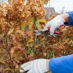 When do you prune hydrangeas? In general, you prune most hydrangeas in spring except mophead, and lacecap hydrangea as they flower on old wood, prune others after flowering such as limelight and snowball hydrangeas