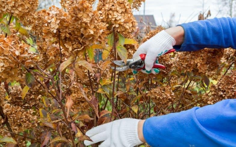 When do you prune hydrangeas