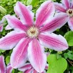 In this exciting post, we look at 6 of our favourite clematis for growing in containers in the shade. Most clematis prefer full some but some will grow well in shade.