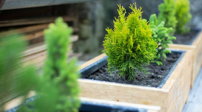 best dwarf conifers for containers