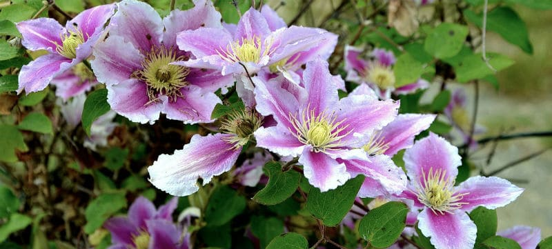Clematis Problems - Clematis wilt, pests, diseases such as mildew, incorrect pruning, incorrect growing conditions