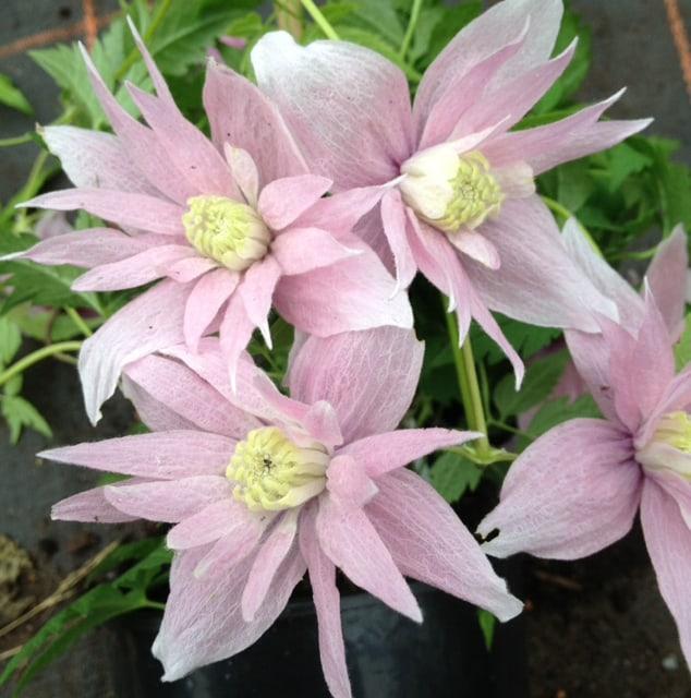Clematis markhams pink