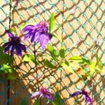 If you plan on planting a clematis against a fence then its important to know how to do this, you need either some trellis work, steel wire or planting netting.