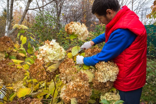 You want to prune after the flower starts to fade. This should take place at the end of the summer. Shrubs that start to appear early in the summer or late springtime and then diminish around the middle of summer are shrubs that produce flowers on the growth from old wood and as such an important that you trim away earlier rather than later.