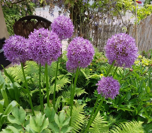 The ornamental onion is a bulb type plant that offers deep lavender blooms in the month of May that can be as large as a small child's head so they really are something to look at. This is very easily grown as long as it gets access to full sun or partial shade and well-drained soil. It will perform well even in sandy soil is quite tolerant of a wide range of different soils making it ideally suited to gardens that don't have a perfect soil balance.