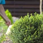 In this post, we go other 10 of our favourite dwarf conifers which are perfect for a small garden. We go other each variety in detail and include pictures of each