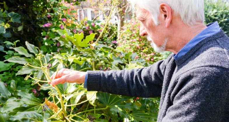 Fatsia japonica care – The beginners guide to Japanese Aralia