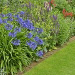 Growing agapanthus - the beginners easy to follow guide