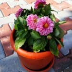 One of the best ways you can successfully grow dahlias is in pots, smaller varieties are best such as bedding dahlias but tall varieties grow well in large pots too.