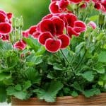 Growing geraniums can be very enjoyable and they are perfect for growing both indoors and outdoors. We look at everything you need to know about geraniums.