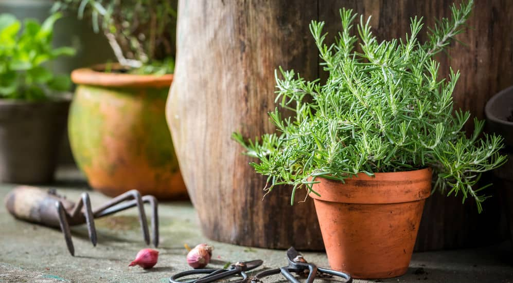 In this post, we have an exciting article on growing Rosemary in pots. Easy to understand guide on planting and caring for Rosemary in pots everything you need to know.
