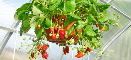 Knowing how to plant strawberries in hanging baskets is very simple. Make sure that you have selected the appropriate location which still affords the strawberries protection from the elements while guaranteeing sun exposure.