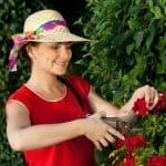 How to deadhead geraniums