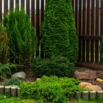 Conifers are a popular plant to grow and with many new dwarf varieties there usually a consider to suit every garden. We look at how to grow and care for conifers.