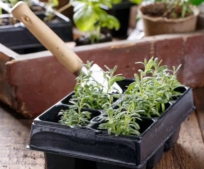 In this post, we look at how to grow lavender from cutting step by step. We look at taking the cutting, using the right compost mix, propagation and planting out.