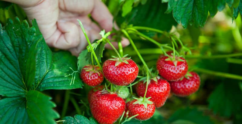 How to grow strawberries in the ground, containers and tubs and in hanging baskets