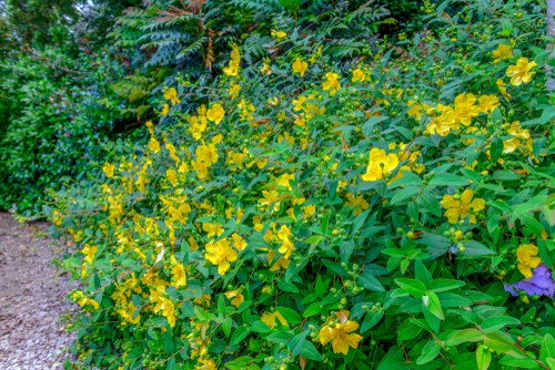 St John's Wort is an evergreen that you can prune regularly in order to maintain the size and shape that you prefer. It is a smaller, low-growing plant that will reach about 1.5 m in both heights and spread but as mentioned this can be contained if you so choose.