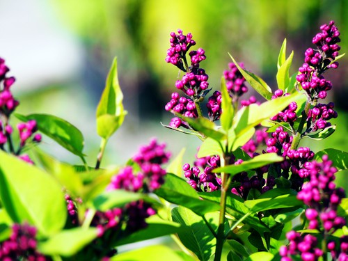 This is a medium-sized shrub that has fragrant double flowers and can be used to create a border, hedging, a privacy screen, or even a windbreak. It is well-known for the open branched, green foliage it produces with the deep purple double flower clusters. You will enjoy blooms in the middle of May all the way through summer and can even be grown as a small tree. Moreover, this plant thrives in cooler climates which means it can be grown in all parts of the UK.