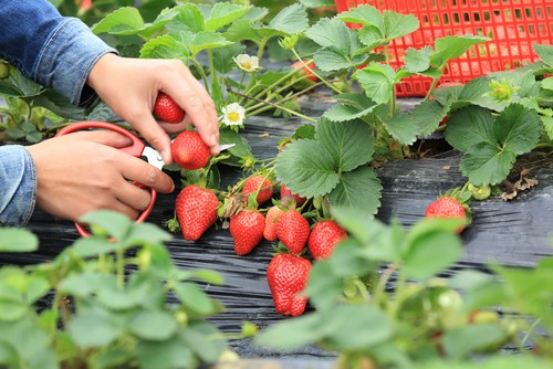 When your strawberries are fully red in their appearance you can cut them off at the stem. It is better to cut them off rather than try to pull the fruit because pulling it to not only bruised the fruit but bruised the rest of the strawberry plant.