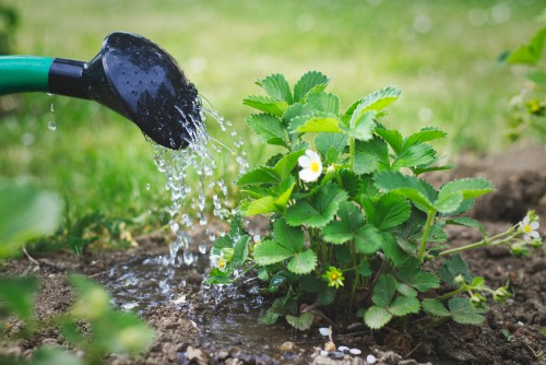monitor your plants and water them well in the morning and the evening especially if they are in pots or any other type of hanging container.