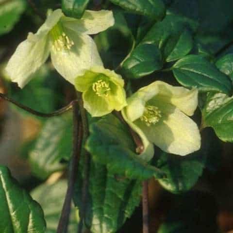 clematis wisley cream - winter flowering clematis