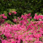 In this article, we look at t some our favourite evergreen shrubs for shade that provide colour all year round. From foliage colour shrubs to spring flowering.